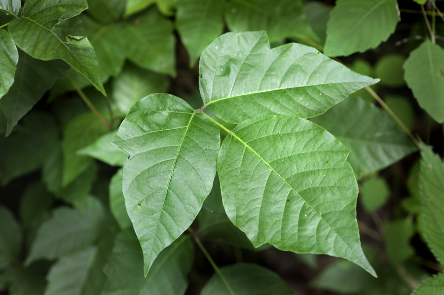 Poison Ivy: Prevention & Relief